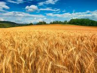 Собирать пазл ears of wheat онлайн