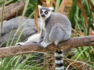 Собирать пазл Ring-tailed lemur онлайн