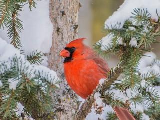 Собирать пазл Red cardinal онлайн