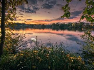 Собирать пазл Swan on the lake онлайн