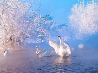 Собирать пазл Swan winter онлайн
