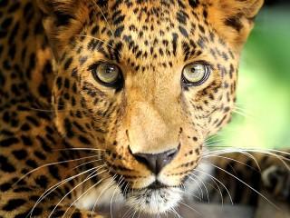 Собирать пазл Posing leopard онлайн