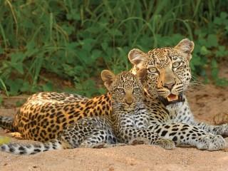 Собирать пазл Leopards онлайн