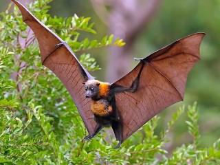 Собирать пазл Flying Fox онлайн