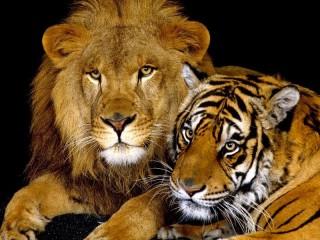 Собирать пазл lev i tigr онлайн