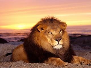 Собирать пазл Lion on the sea shore онлайн