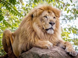 Собирать пазл Lion on the stone онлайн