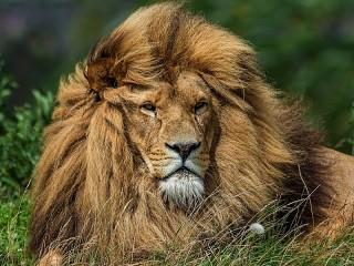 Собирать пазл Lion in the grass онлайн