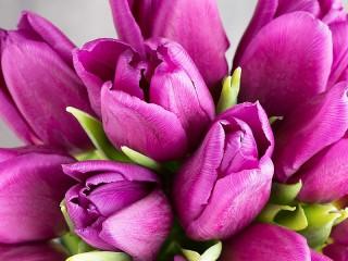 Собирать пазл Purple tulips онлайн