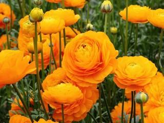 Собирать пазл Buttercups garden онлайн