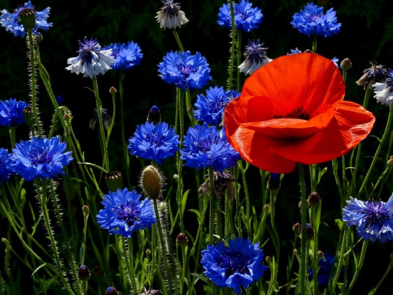 Jigsaw Puzzle Solve jigsaw puzzles online - Poppy and cornflowers