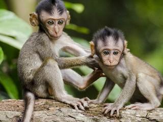 Собирать пазл Little monkeys онлайн