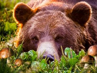 Собирать пазл Bear and mushrooms онлайн