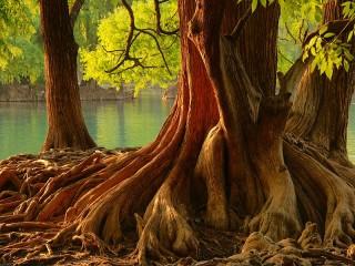 Собирать пазл A mighty tree онлайн