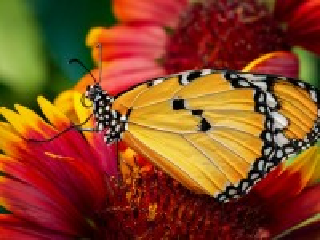 Собирать пазл Moth on a flower онлайн