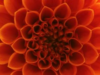 Собирать пазл Orange Dahlia онлайн