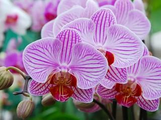 Собирать пазл Orchids онлайн