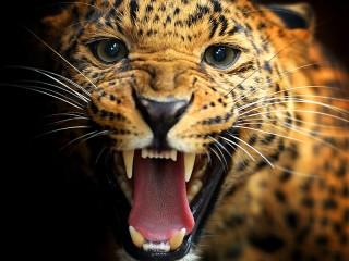 Собирать пазл Grin of leopard онлайн