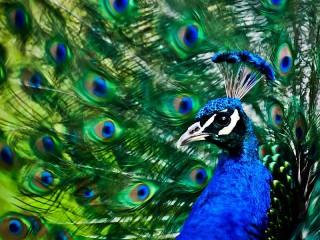 Собирать пазл Peacock онлайн