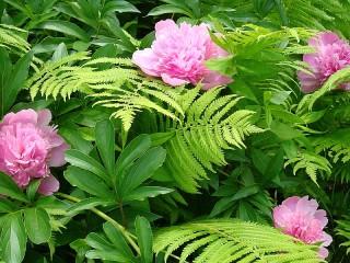 Собирать пазл Peonies and fern онлайн