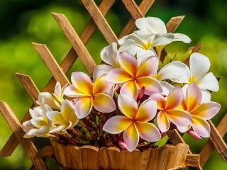 Собирать пазл Plumeria in the pot онлайн