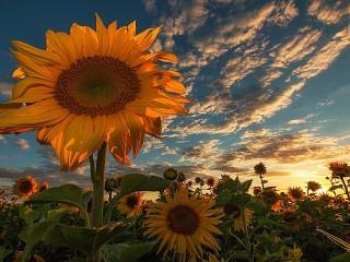 Собирать пазл Sunflower and clouds онлайн