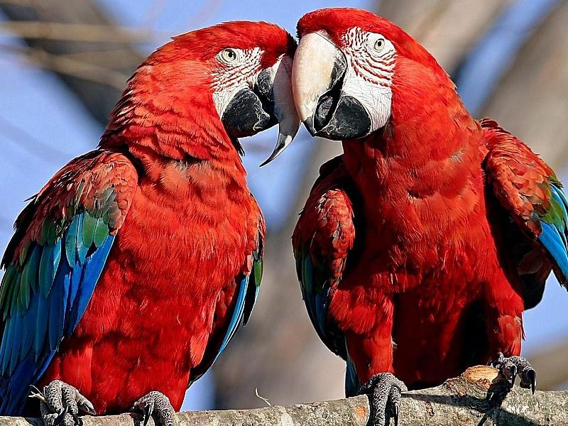 Jigsaw Puzzle Solve jigsaw puzzles online - Parrots