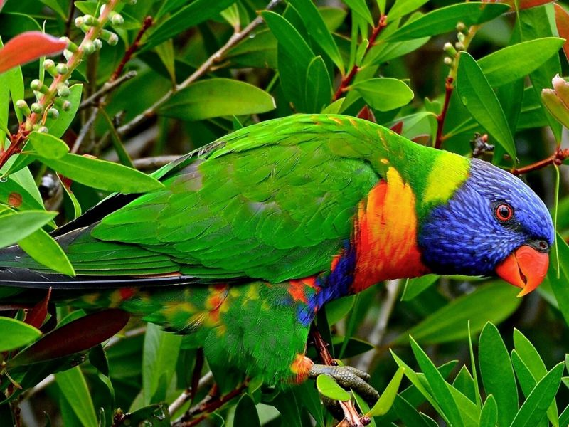 Jigsaw Puzzle Solve jigsaw puzzles online - Parrot