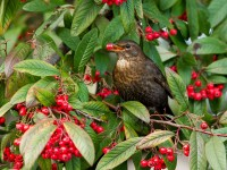 Собирать пазл Bird on bush онлайн