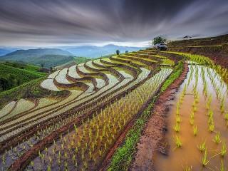 Собирать пазл Rice fields онлайн