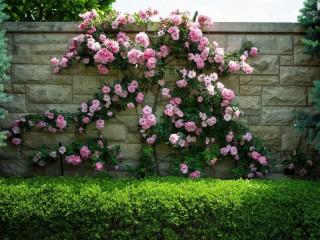 Собирать пазл Roses on the fencing онлайн