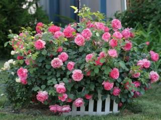Собирать пазл Rose bush 11 онлайн