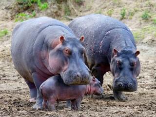 Собирать пазл A family of hippos онлайн