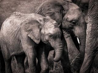 Собирать пазл Grey elephants онлайн