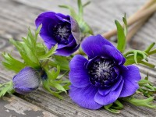Собирать пазл Blue anemones онлайн