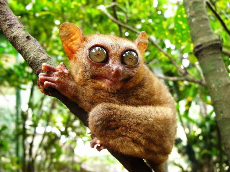 Jigsaw Puzzle Solve jigsaw puzzles online - Philippine tarsier