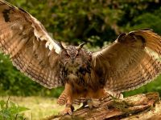 Собирать пазл Owl 2 онлайн