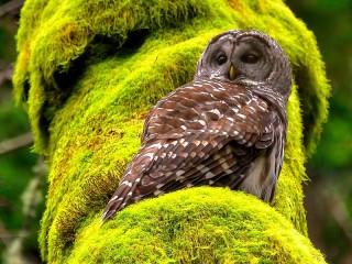 Собирать пазл Owl and moss онлайн