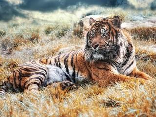 Собирать пазл Tiger in the grass онлайн