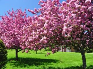 Собирать пазл Bloomy trees онлайн