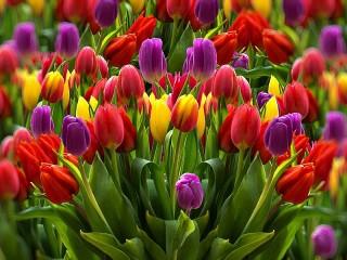 Собирать пазл Tulips онлайн