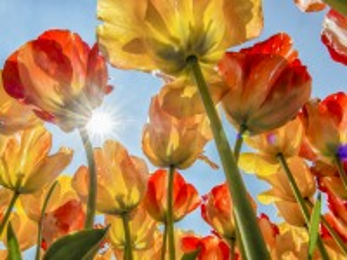 Собирать пазл Tulips and sun онлайн