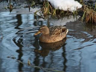 Собирать пазл Duck онлайн
