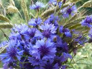 Собирать пазл Cornflowers онлайн