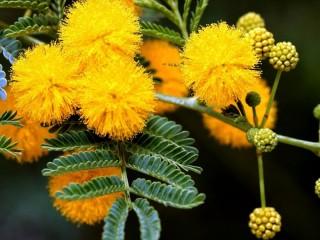 Собирать пазл vetka mimozi11 онлайн