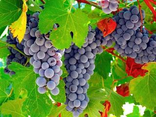 Собирать пазл Grapes онлайн