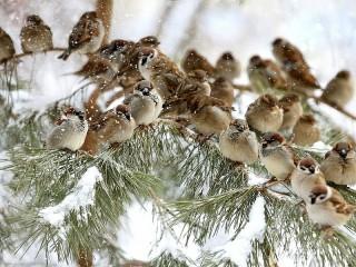 Собирать пазл Sparrows онлайн