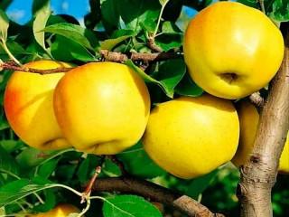 Собирать пазл Apples Golden онлайн