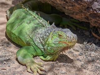 Собирать пазл Green iguana онлайн